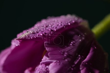 Photo for Close up view of violet tulip with water drops isolated on black - Royalty Free Image
