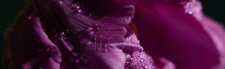 Photo pour Vue rapprochée de la tulipe violette avec gouttes d'eau, vue panoramique - image libre de droit