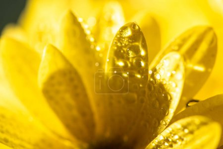 Photo pour Vue rapprochée des pétales jaunes de marguerite avec gouttes d'eau - image libre de droit