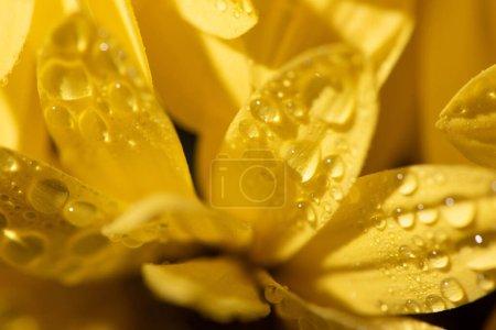 Foto de Close up view of yellow daisy with water drops on petals - Imagen libre de derechos