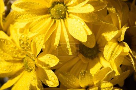 Photo pour Marguerites jaunes fraîches humides avec gouttes d'eau - image libre de droit