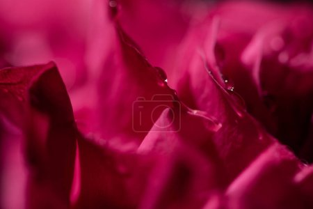 Photo pour Close up view of red rose with water drops on petals - image libre de droit