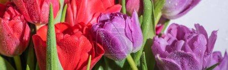 Photo pour Bouquet de tulipes printanières colorées avec des gouttes d'eau sur fond blanc, plan panoramique - image libre de droit