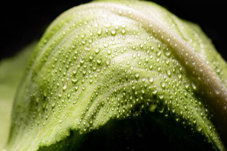 close up view of wet fresh cabbage leaf isolated on black