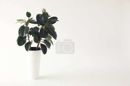 Photo for Close up of green potted ficus plant, isolated on white with copy space, minimalistic style - Royalty Free Image