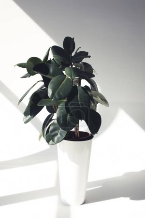 Photo for Green potted ficus plant with sunlight, minimalistic style - Royalty Free Image