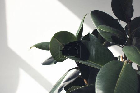 Photo for Close up of green ficus plant with sunlight, minimalistic style - Royalty Free Image