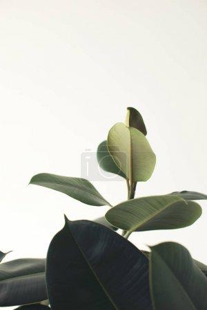 Photo pour Gros plan de la plante ficus vert, isolé sur blanc avec espace de copie, style minimaliste - image libre de droit