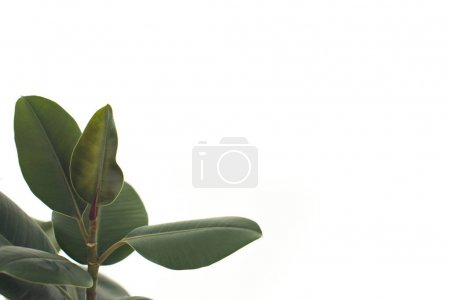 Photo for Close up of green ficus leaves, isolated on white with copy space, minimalistic style - Royalty Free Image