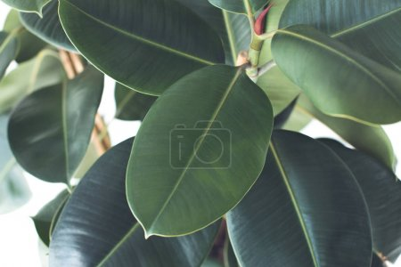Photo for Close up of green ficus plant, isolated on white, minimalistic style - Royalty Free Image