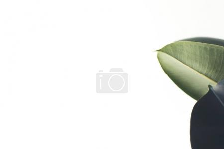 white background with ficus leaves