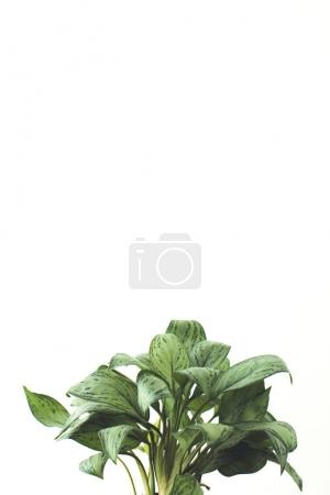 Photo for Green plant, isolated on white with copy space, minimalistic style - Royalty Free Image