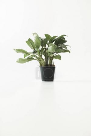 Photo for Green potted plant, isolated on white with copy space, minimalistic style - Royalty Free Image