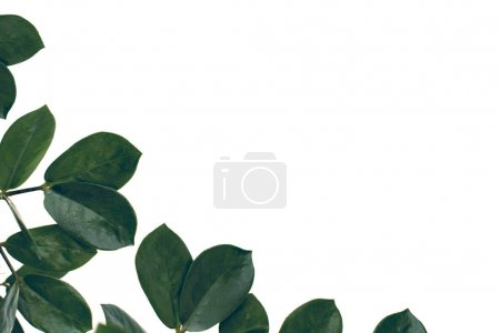 ficus leaves with copy space