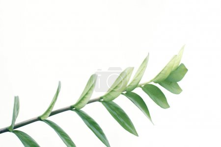 Photo for Close up of green plant, isolated on white with copy space, minimalistic style - Royalty Free Image