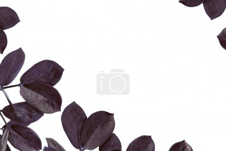 Photo for Leaves of ficus plant, isolated on white with copy space, minimalistic style - Royalty Free Image