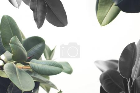Photo for Close up of green ficus plant, isolated on white with copy space, minimalistic style - Royalty Free Image