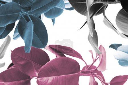 texture de plantes Ficus