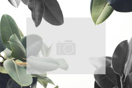 ficus plant with blank card
