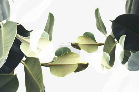 Photo for Double exposure of green ficus plants, isolated on white - Royalty Free Image