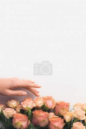 hand touching pink rose flowers