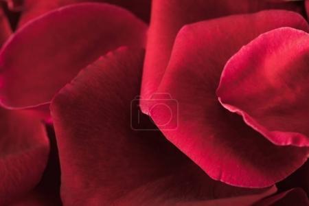 Photo pour Vue rapprochée de la texture des pétales de roses rouges - image libre de droit