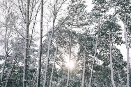 Photo pour Soleil entre les arbres couverts de neige dans la forêt - image libre de droit