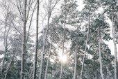 """Постер, картина, фотообои """"солнца между деревья, покрытые снегом в лесу"""""""