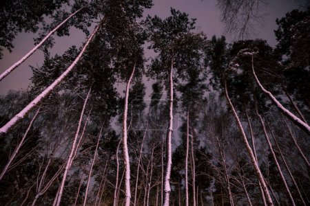 bottom view of trees with snow in forest in evening