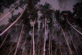 """Постер, картина, фотообои """"вид снизу деревьев с снег в лесу в вечер"""""""
