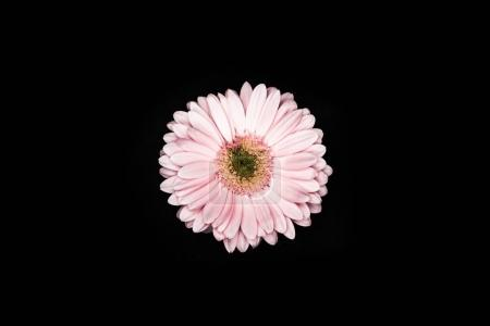 top view of beautiful pink gerbera isolated on black