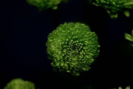 Foto de Hermosas flores verdes aisladas en negro - Imagen libre de derechos