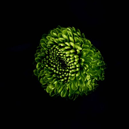 beautiful green flower isolated on black