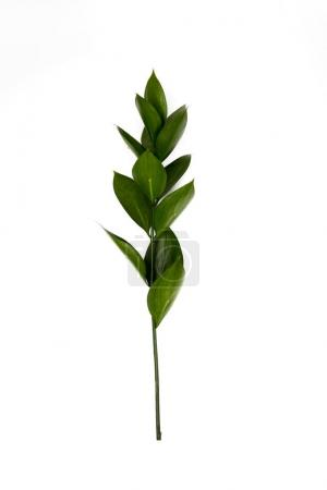 Photo for Twig with green leaves isolated on white - Royalty Free Image