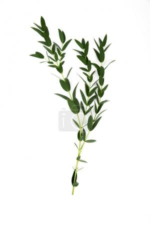 Photo for Twigs with green leaves isolated on white - Royalty Free Image