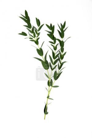 Photo pour Brindilles aux feuilles vertes isolées sur blanc - image libre de droit