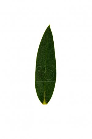 Photo for One green leaf isolated on white - Royalty Free Image