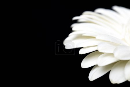 cropped image of white gerbera isolated on black