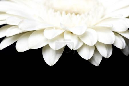 cropped image of white gerbera petals isolated on black