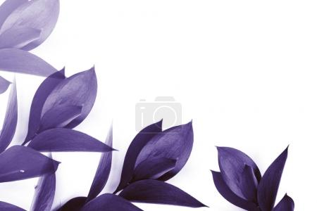 purple leaves on twigs isolated on white