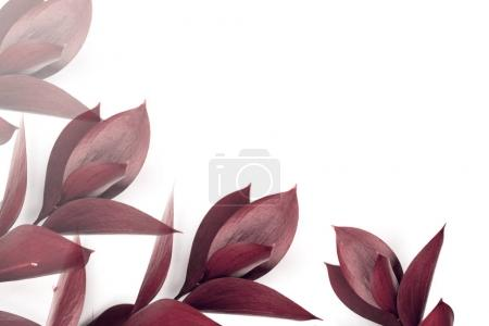 burgundy leaves on twigs isolated on white