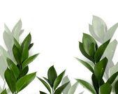 """Постер, картина, фотообои """"зеленые листья на ветки, изолированные на белом фоне"""""""