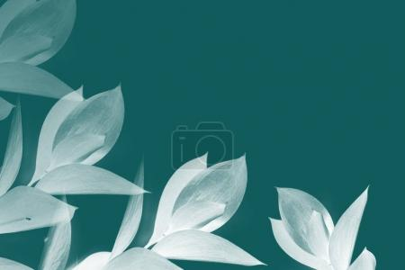 Photo for White leaves on twigs isolated on turquoise - Royalty Free Image