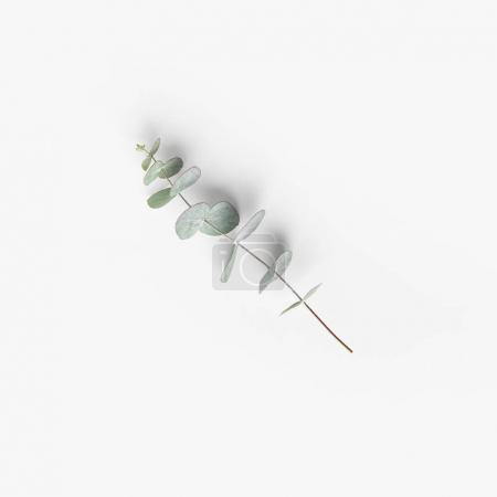 Photo pour Vue rapprochée des plantes aux feuilles d'eucalyptus vertes sur plateau blanc - image libre de droit