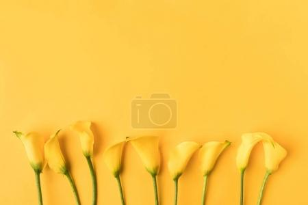 Photo for Beautiful blooming yellow calla lily flowers isolated on yellow - Royalty Free Image