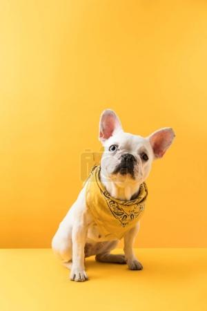 Photo for Funny french bulldog sitting and looking at camera on yellow - Royalty Free Image