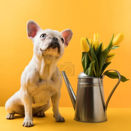 Photo for Cute french bulldog sitting near watering can with yellow tulips on yellow - Royalty Free Image