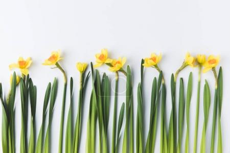 Photo for Beautiful blooming yellow daffodils with green stems and leaves isolated on grey - Royalty Free Image