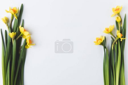 Photo for Beautiful blooming yellow daffodils isolated on grey - Royalty Free Image