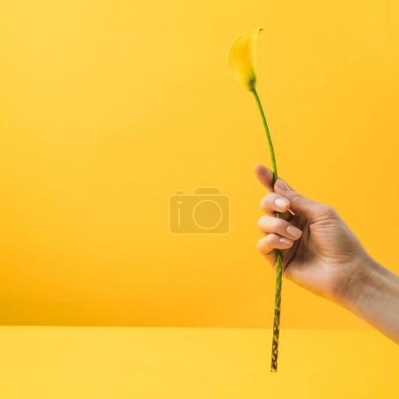 Photo for Cropped shot of person holding yellow calla lily flower isolated on yellow - Royalty Free Image